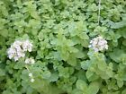 Sweet Marjoram Seeds - Used to add a sweet and spicy flavor to foods! Free Ship!