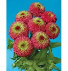 NEW!  25+ GIANT QUEEN RED LIME GREEN  ZINNIA FLOWER SEEDS / Long Lastng ANNUAL