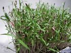 Organic Bouquet Dill Microgreen Seeds!!Grow Your OWN Sprouts.. A ZESTY Taste!!!