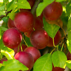 Red cherry plum tree seeds, plants or cuttings