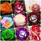 100pc Rare Rose Seeds Osiria Rose Shrub Bush Hardy Rosa Perennial Flower Seed