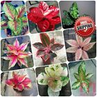 50pc Chinese Evergreen seeds Aglaonema Pink Dud Mosaic plant Begonia alternative