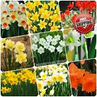 100pcs Daffodil seeds (not bulbs) Narcissus daffadowndilly Lent Lily Flower Seed