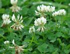 Ladino Clover Seeds - Reseeding Winter Bee Forage Cover COAT/IN Seed (upto 1LB)