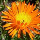 Ice Plant Orange Flower Seeds (Dorotheanthus Bellidiformis) 200+Seeds
