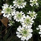 Candytuft Snow White Flower Seeds (Iberis Sempervirens) 50+Seeds