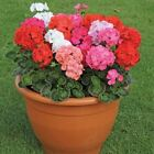Geranium Mix Flower Seeds (Pelargonium Zonale Mix) 10+Seeds