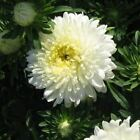 Aster Pompon White Flower Seeds (Callistephus Pompon ) 50+Seeds