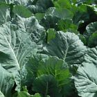 Bulldog Hybrid F1  Collard Seeds - not finicky about growing conditions!!!