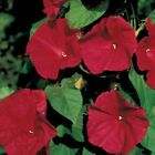 Scarlet O'Hara Morning Glory Seeds - flowers are a magnificent wine-red color !!