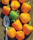 Tinker Bell Mini Yellow Pepper - Great for salads, stuffing or cooking!!