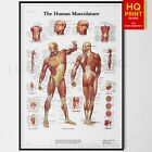 HUMAN MUSCLE ANATOMY CHART BIOLOGY SCIENCE EDUCATION POSTER | A4 A3
