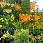 100pcs Daylilies Hemerocallis Lily Seeds Potted Bonsai Flower Seeds Home EFFU