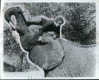 1979 Press Photo Tippi Hedren and Tembo the Elephant star in Roar