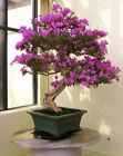 10 Sakura Tree Seeds Mixed Rare Eastern Cherry Blossom Bonsai Plant Garden Decor