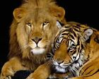 Lion And Tiger Art Poster Print New