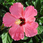 Hibscus rosa-sinensis BLOOMING TROPICAL HIBISCUS PLANTS