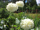Poppy Flower Seeds White Cloud Double Peony Poppies Papaver Paeoniforum #69#77
