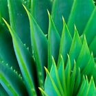 THE ONLY After-Microdermabrasion Moisturizer: PURE ORGANIC ALOE VERA GEL - Heals