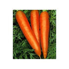 "Carrots ""Danvers"" - Long & Sweet & Tasty!!!  Great Carrot!! FREE SHIPPING!!!"