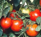 Siberian Tomato Heirloom variety from Russia Early TomatoFree Shipping