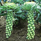 Long Island Brussel Sprouts---VERY TASTY!!!!!!