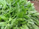 Large Leaf Sorrel Seeds-Produces greens for 8 to 10 years! Used in Asian cuisine