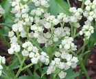 Wild Quinine Seeds - white, dense, cauliflower-looking flowers long bloom time!!