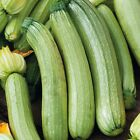Genovese Squash Seeds -  A fine and beautiful Italian zucchini !! - FREE SHIP!!!