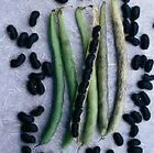 Black Valentine Bush Bean Seeds - produces high yields of flavorful 6