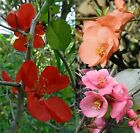 Chaenomeles speciosa, japonica Japanese Maule's Quince Cognassier, shrub, seeds