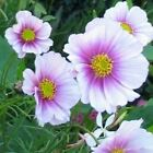 Cosmos Sensation Day Dream Flower Seeds (Cosmos Bipinnatus) 50+Seeds