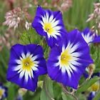 Morning Glory Royal Blue Flower Seeds (Convolvulus Tricolor) 50+Seeds