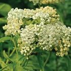 Swamp Milkweed White Flower Seeds (Asclepias Incarnata White) 25+Se