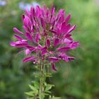Cleome Violet Queen Flower Seeds (Cleome Hassleriana) 50+Seeds