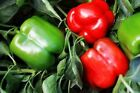Majestic Red Hybrid F1 Bell Pepper Seeds - matures to a bright candy apple red !