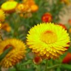 Strawflower Paper Daisy Yellow Flower Seeds (Helichrysum Bracteatum) 200+Seeds