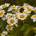 Feverfew Flower Seeds (Chrysanthemum Parthenium) 200+Seeds