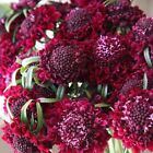 Pincushion Double Red Flower Seeds (Scabiosa Atropurpurea) 15+Seeds
