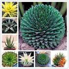 Aloe Vera Seeds Rare Herb Seeds Cosmetic Bonsai Succulent Plants Seeds LKR8