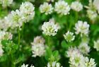 Ball White Clover Seed - Reseeding Bee Livestock Forage CO/IN Seeds (¼oz to 8oz)