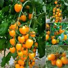 20PCS Rare Golden Cherry Tomatoes Seeds Yellow Tomato Seed Garden RLWH 01
