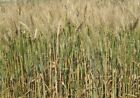 Organic Hard Red Spring Wheat Seed - Cereal Grain Crop Garden Seeds (3LB or 5LB)