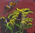 Mourning Cloak & Monarch Butterfly on Goldenrod, Magic Lantern Glass Slide