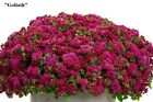 Flower seeds Ageratum. Red, Blue, White, Pink, Mix Flossflower. Annual.