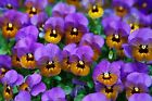 Pansies~counted cross stitch pattern #1098~Flowers Floral Garden Graph Chart