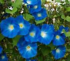 Flower Seed: Heavenly Blue Morning Glory Seed Fresh  FREE Shipping!