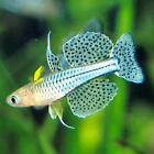 Live Tropical Aquarium Fish for Sale - Spotted Blue Eye Rainbow - Bundles 1 - 20