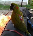 Red Front Macaw Bird Harness Avian Leash    LEATHERS4FEATHERS