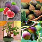 50pcs Fig Tropical Seeds Ficus Carica Seeds Bonsai Rare Fruit Seed Home B20E